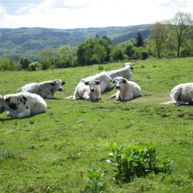 Welsh White Park cattle on Little Doward.