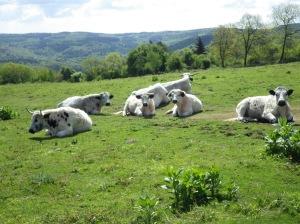 Welsh White Park cattle on Little Doward.