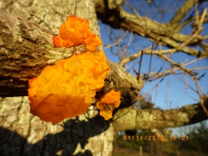Yellow brain fungus or witches butter.
